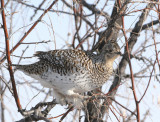 Sharp-tailed Grouse   3 Feb 08   IMG_6098.jpg