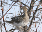Sharp-tailed Grouse   3 Feb 08   IMG_6099.jpg