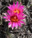 Pincushion Cactus (Mamillaria vivipara)   19 Jun 09   IMG_4257.jpg