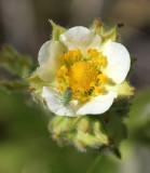 White Cinquefoil (Potentilla arguta)    19 Jun 09   IMG_4254.jpg