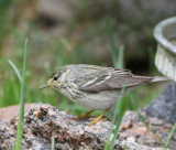 Blackpoll Warbler female   21 May 08   0328.jpg