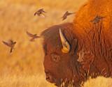 bison-cowbirds-I.jpg