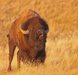 bison-II.jpg
