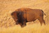 bison-III.jpg