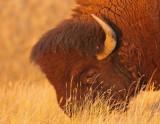 bison-V.jpg