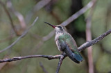 broad-billed-hummingbird-II.jpg