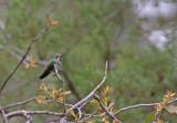 broad-billed-Hummingbird.jpg