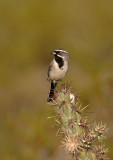 black-throated_sparrow