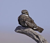 common-nighthawk-XIII.jpg