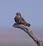 common-nighthawk-XII.jpg
