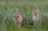 swift-fox-kits-II.jpg