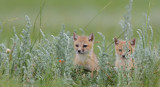 Swift-Fox-kits.jpg