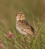 Bairds Sparrow IV.jpg