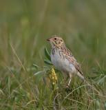 Bairds sparrow V.jpg