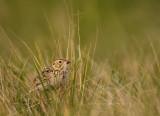Bairds-Sparrow-VII.jpg