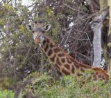 giraffe-I.jpg