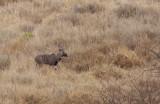 Lesser-Kudu.jpg