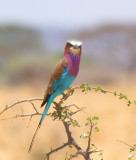 lilac-breasted-roller-II.jpg