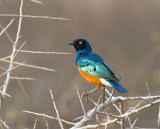 Superb-Starling.jpg