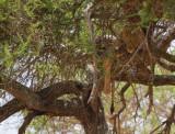 Tarangire-lion-I.jpg