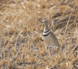 Two-banded-Courser.jpg