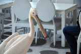 Pelican in a cafe