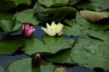 Waterlilies closeup 1