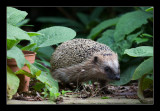 5613  hedgehog / egel