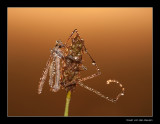 4176  crane-fly in dew / langpootmug