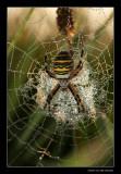 4225 waspspider in dew