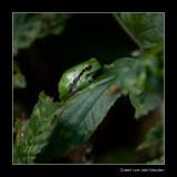6219 102509-tree frog / boomkikker_.jpg