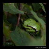 6253 102509-tree frog / boomkikker.jpg