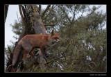 9338 fox