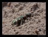 _4848 beetle / basterdzandloopkever