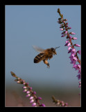 7288  flying bee on heather