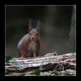 5742 red squirrel / eekhoorn
