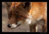 3571 fox