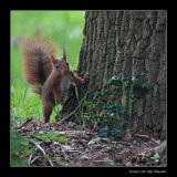 3855 red squirrel / eekhoorn