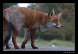 2183 fox