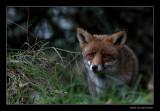 2137 fox