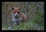 2430 fox