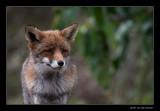 1865 fox