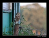 0375 little owl