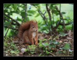 3359 young red squirrel