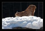 7727 lynx stretching (C)