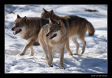 7416 wolves (c)