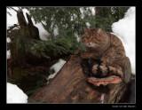 8972 wild cat (c)
