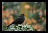 6616 blackbird on ivy