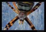 6121 waspspider portret
