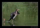 5459 balancing young cormorant
